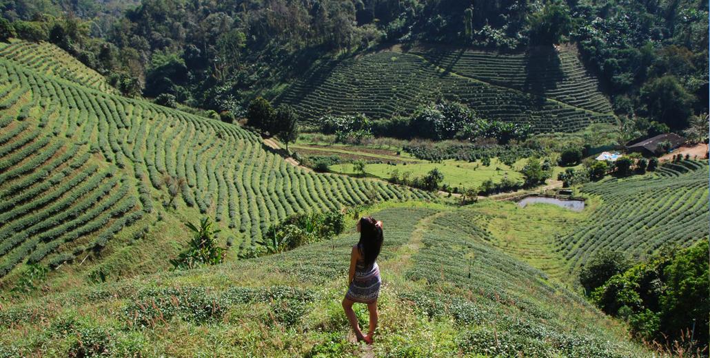 Ananas & Theeplantages   Chiang Rai