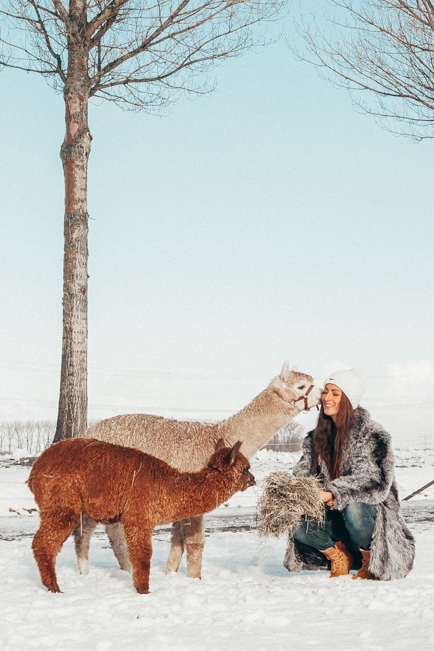 alpaca's in the snow winter