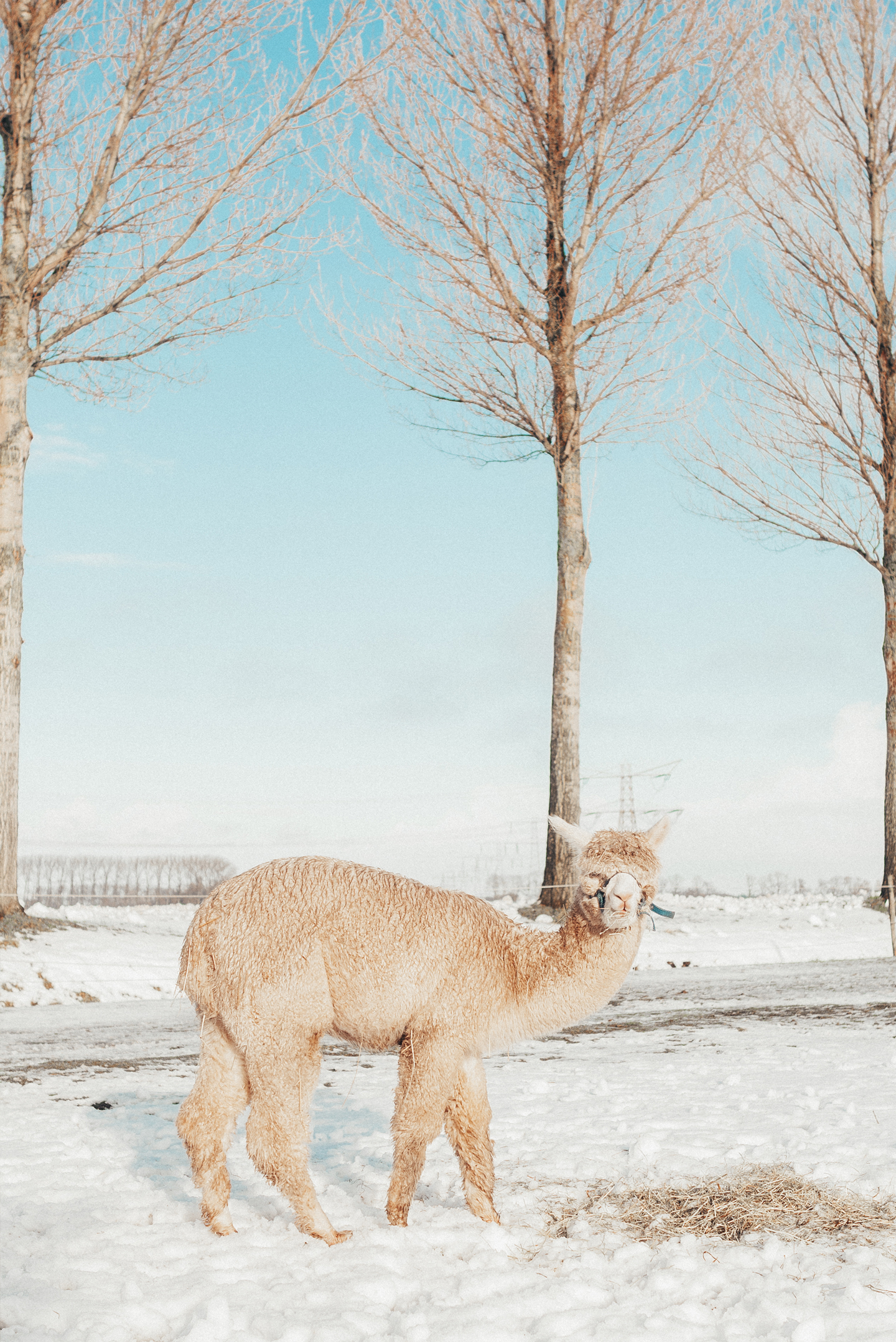 alpaca in the snow winter